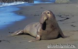 Воспитание потомства у морских слонов
