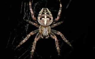 Маленькие ядовитые пауки