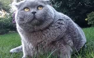 В каком возрасте кастрируют котов британцев?