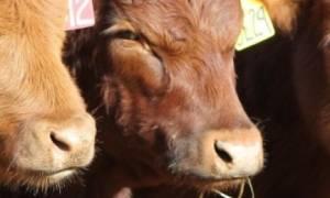 Шерсть коровы почему у коровы выпадает шерсть