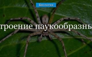Органы дыхания и чувств у пауков