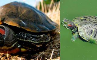 Сколько может красноухая черепаха без воды