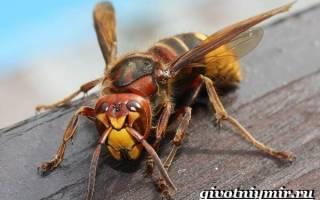 Все о насекомых шершни и их места обитания