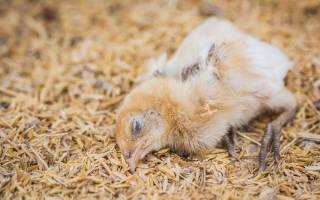 Аптечка для цыплят — OgorodGuru