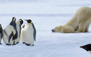 Почему белый медведь не ест пингвинов?