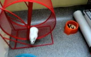 Как приучить хомячка к беговому колесу