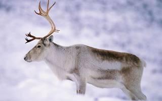 Продолжительность жизни оленя