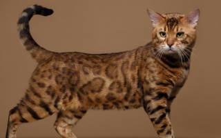 Размеры и вес бенгальской кошки