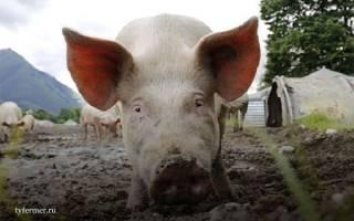 У поросенка температура советы свиноводу