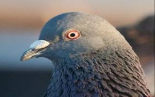 Помощь голубям как вылечить коньюктивит