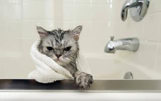 Как часто можно мыть кошек — Котейки
