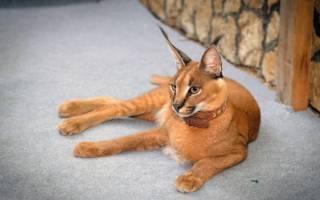 Особенности кошки похожей на рысь