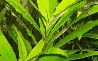 Лимонник — аквариумное растение