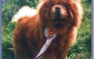 Уход за собакой Чау-Чау, содержание