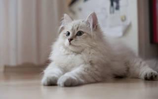 Самые популярные породы кошек: топ-10