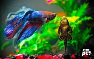 Петушок совместимость с другими рыбами