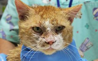 Чем опасен нотоэдроз у кошек