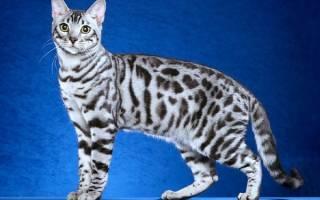 Как ухаживать за бенгальским котенком