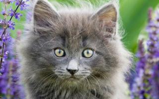 Воспаление десен у кошек симптомы и лечение