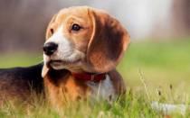 В каком возрасте у щенков опускаются яички