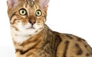 Почему нельзя кормить кота перед кастрацией