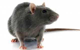 Стоит ли заводить крысу