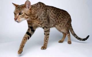 Какие существуют породы кошек ашера