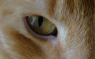 На что указывает опухоль под глазом у кота