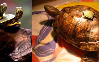 Сколько лет живут красноухие черепахи