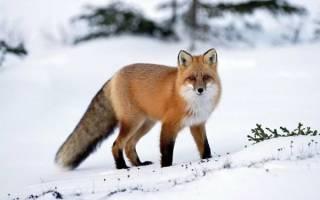 Животный мир тажного леса