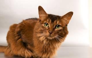 Герпес у кошек симптомы и лечение