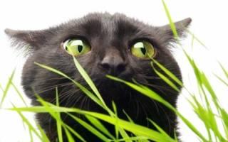 Почему кошки едят траву? — МирКошек.Рф