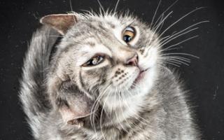 Из-за чего кот трясет головой