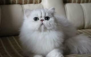Персидский кот шиншилла