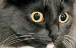 Нарывы швов у кошек
