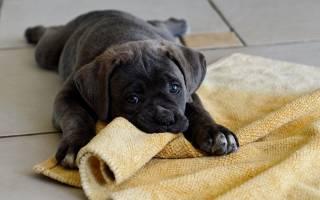 Что делать если щенок лабрадора кусается