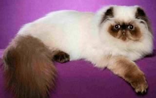 Вс о гималайской кошке