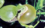 Корм для лягушек австралийская квакша