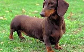 Такса — описание породы собаки от А до Я