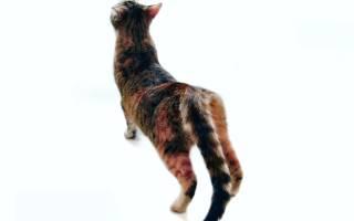 Как облегчить страдания кошки во время течки