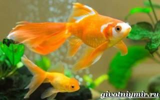 Уход и содержание золотых рыбок