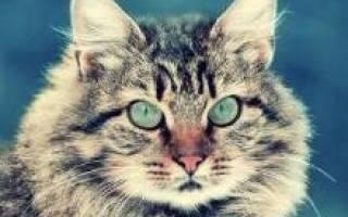 Сибирская кошка черепаховая