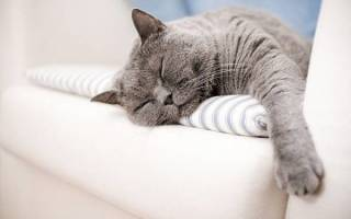 Ваша кошка храпит Первые признаки заболеваний