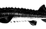 Осетровые рыбы биологическая характеристика