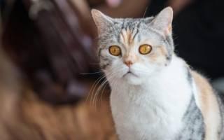 Американская жесткошкерстная кошка кто она