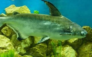 Чем питается рыба пангасиус