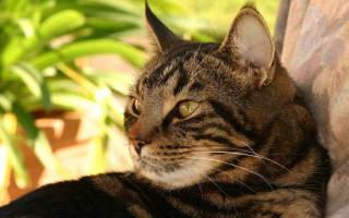 Что делать при запоре у кошек