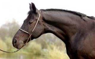 Как выбрать хорошую верховую лошадь