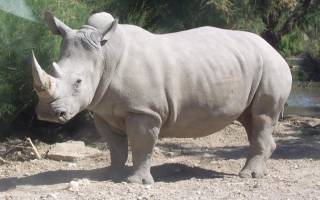 Где водятся носороги
