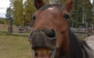 Сколько зубов у лошади
